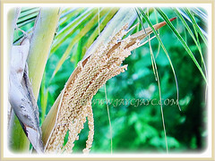 Captivating inflorenscence of Cocos nucifera (Coconut Palm Tree, Malayan Coconut Palm, Green Malayan Palm), 4 July 201
