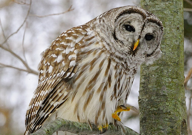 Barred Owl ...  Preparing for takeoff