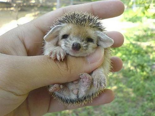 baby hedgehog - 1
