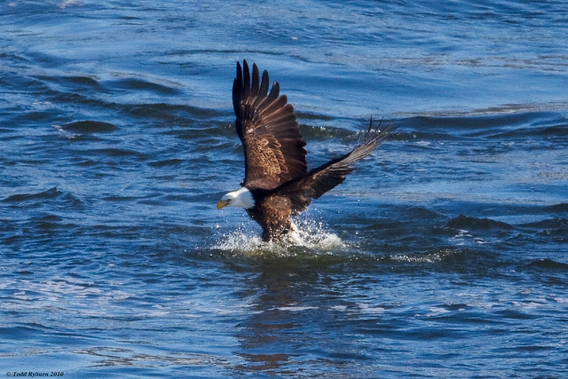 Bald Eagle Catching Fish http://www.flickr.com/photos/tryburn/4268061633/