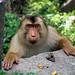 Aceh monkey by Mangiwau