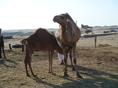 animal, pack animal, herd, landscape, camel, arabian camel,