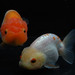 White-Red Ranchus