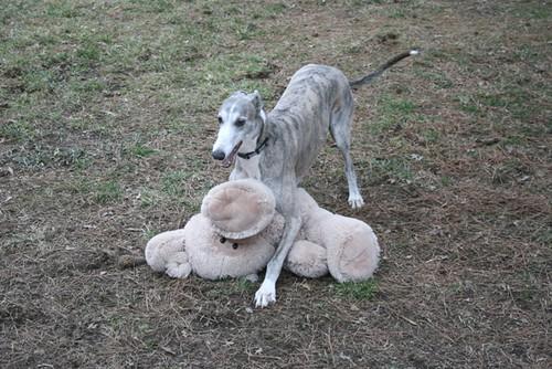 Blue and white greyhound