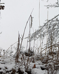 Weeds in the Snow