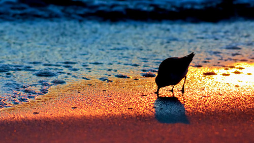 ocean sunset wild bird nature water silhouette coast nikon surf florida wildlife birding shoreline shore ave fl 169 ornithology avian 2010 sanderling shorebird d300 charadriiformes calidrisalba scolopacidae wintering 300f4 silhouettephotography