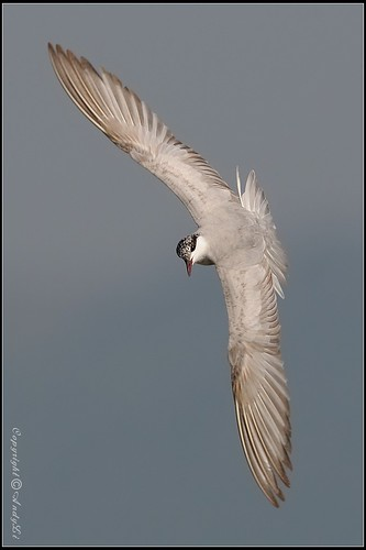Whiskered Terns-鬚浮鷗