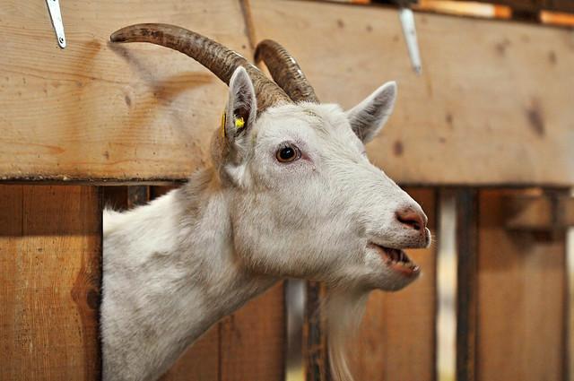 Goat peeking out