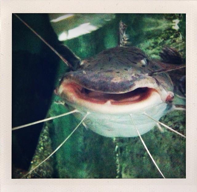 Shark catfish Flickr - Photo Sharing!