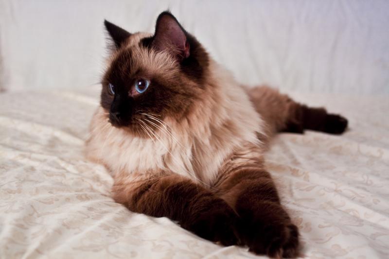 Ragdoll Cross Cat Breed