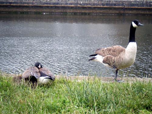 geese-momanddad