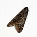 Small photo of [1663] March Moth (Alsophila aescularia)