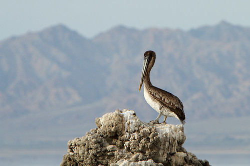 Brown Pelican perched on a rock