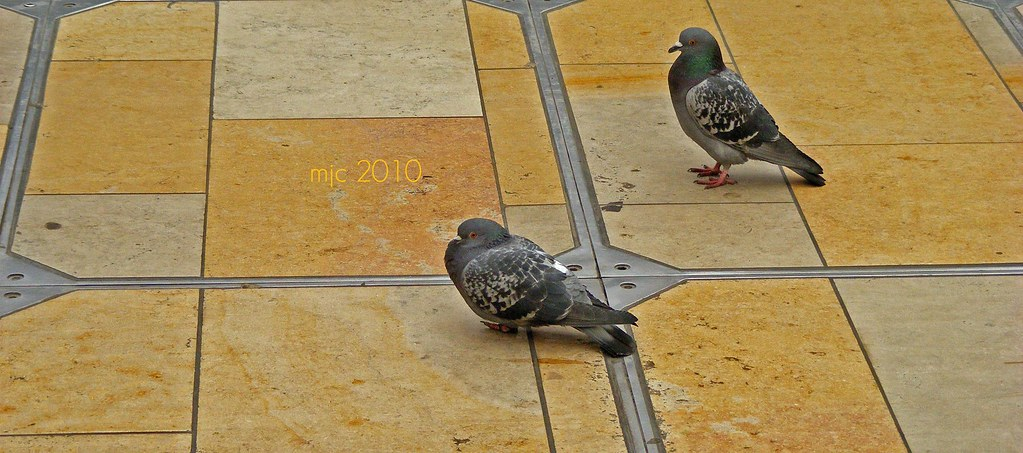Pigeons seen in Paddingtion Station