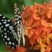 Butterfliy
