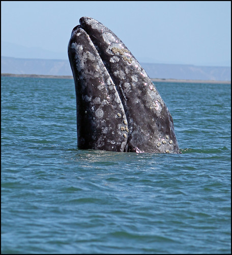 Grey Whale Spy Hop With Eye Above Water