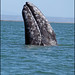 Gray Whale - Photo (c) Joe McKenna, some rights reserved (CC BY-NC-ND)