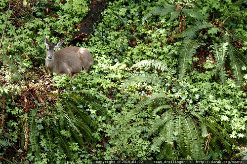 seen during lunch   deer in the backyard