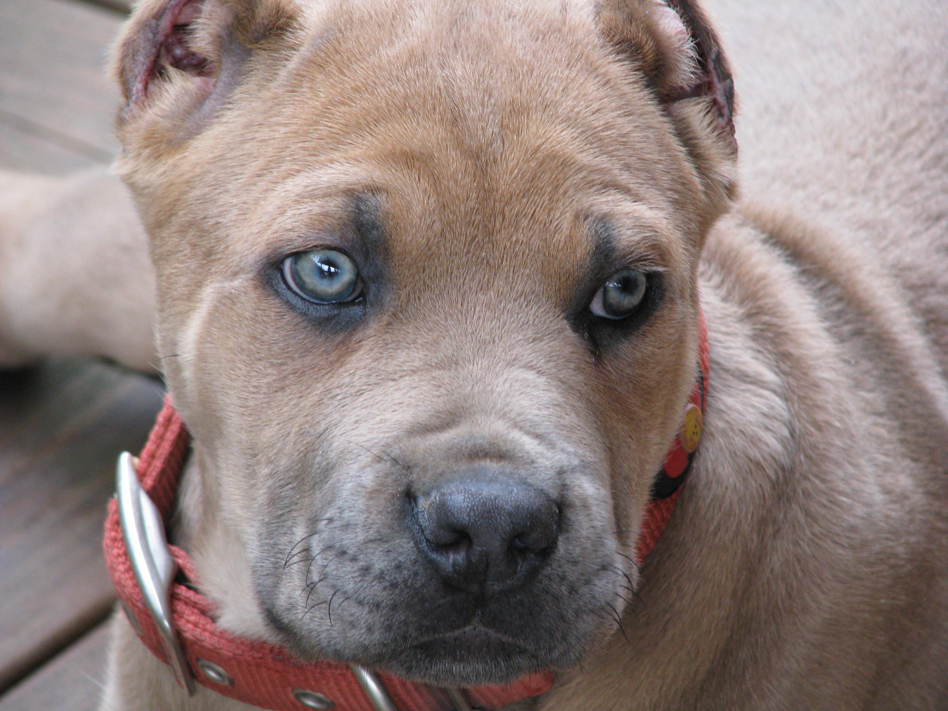 Italian Mastiff For Sale Honey Bangalore India | Dog Breeds Picture ...