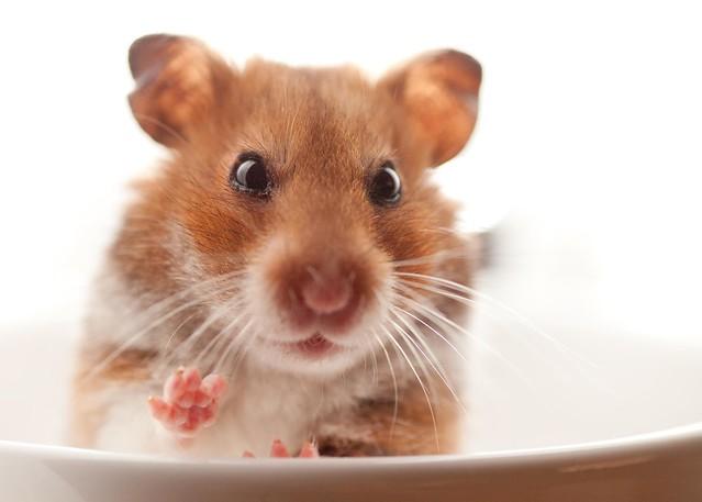 waving hamster