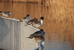 Ducks on Fence