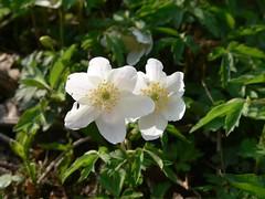 blossom(0.0), shrub(0.0), rosa canina(0.0), rosa wichuraiana(1.0), flower(1.0), rosa rubiginosa(1.0), wildflower(1.0), flora(1.0), rosa multiflora(1.0), rosa acicularis(1.0), rosa pimpinellifolia(1.0),