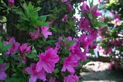 annual plant, shrub, flower, garden, plant, flora, azalea,