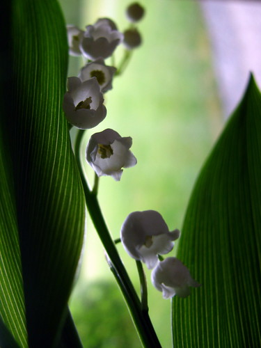 Muguet for May Day