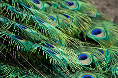 animal(0.0), peafowl(0.0), beak(0.0), bird(0.0), feather(1.0), green(1.0), fauna(1.0), close-up(1.0),
