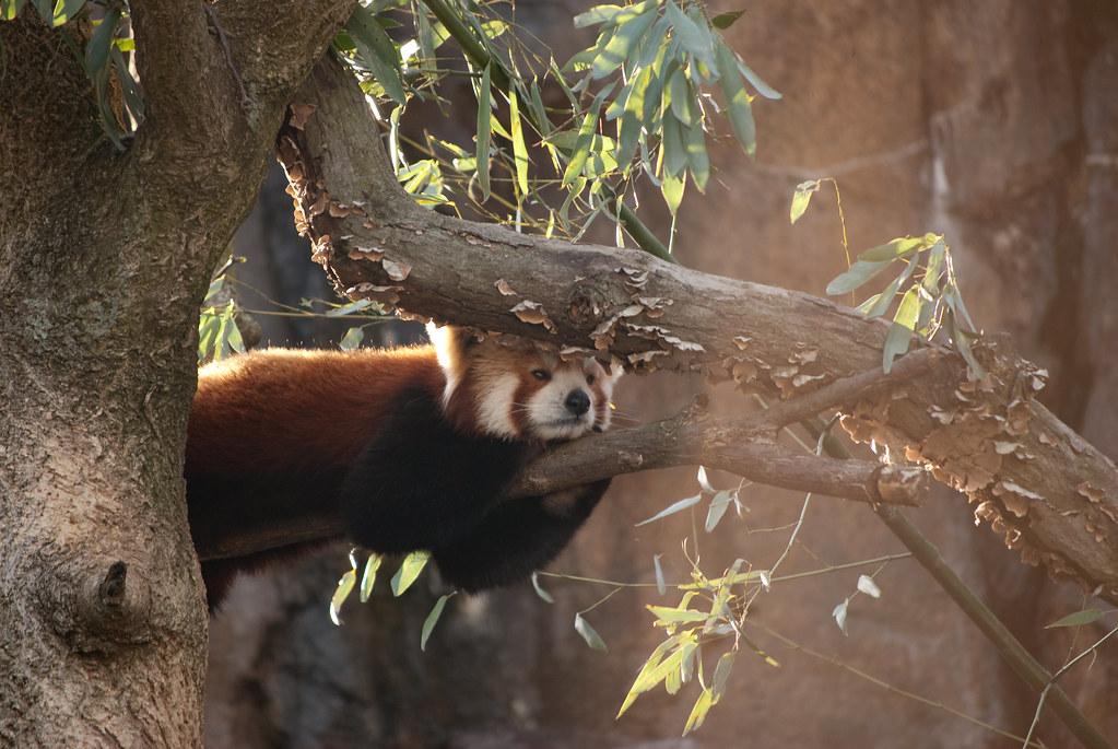 Cute animal, Cutest Red Panda EVER
