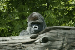 Gorilla By Kris Elshout on flickr