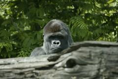 Gorilla By Kris Elshout on flickr