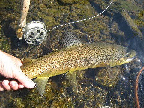 Fly fishing new york for big brown trout backwater angler for Trout fishing ny