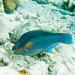 Princess Parrotfish - Photo (c) Paul Asman and Jill Lenoble, some rights reserved (CC BY)