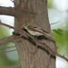 Small photo of Acadian Flycatcher (Empidonax virescens)