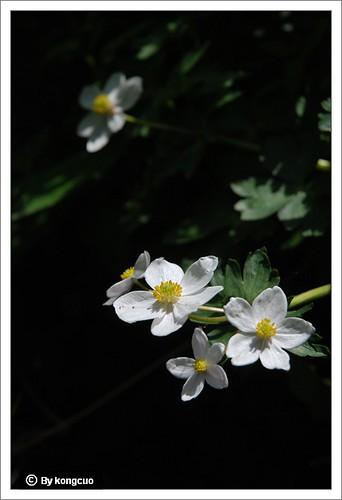 【图】毛茛科银莲花属银莲花
