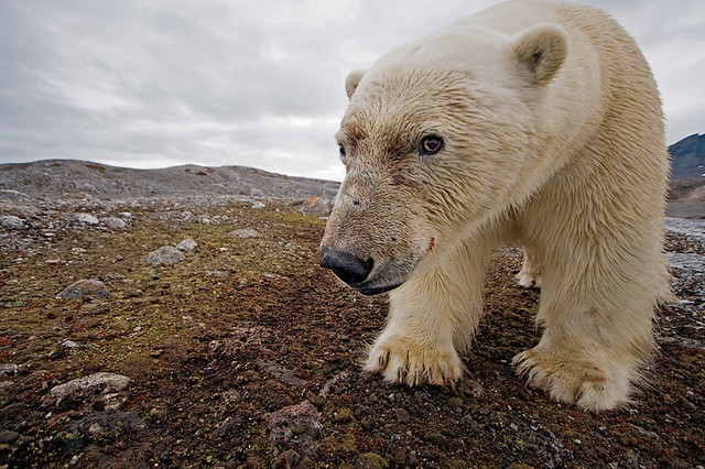 Polar Bear self-portrait, by Paul Nicklen
