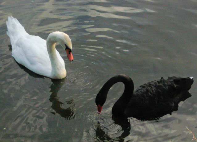 White swan, black swan. | Flickr - Photo Sharing!