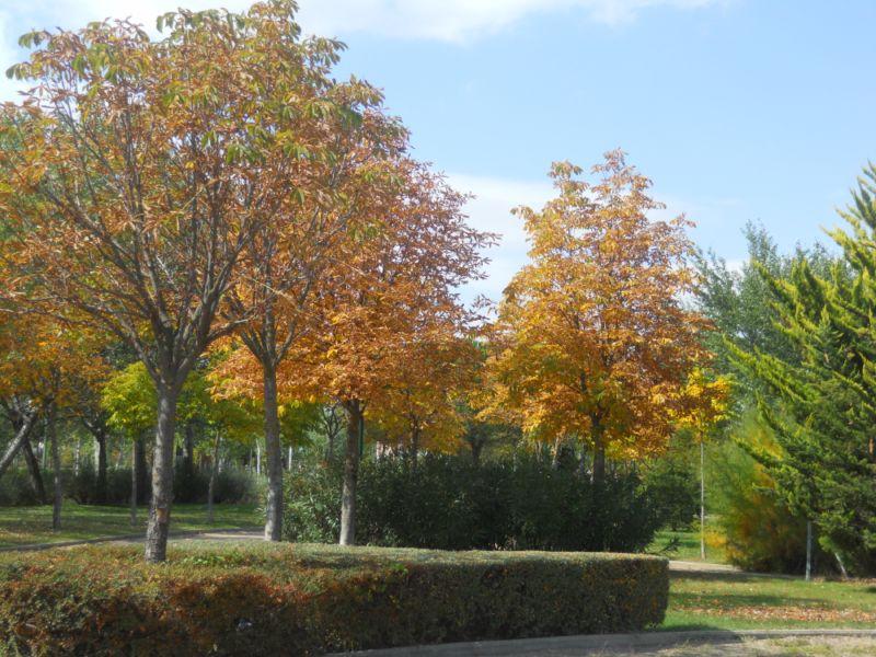 Castaño de indias en otoño 1