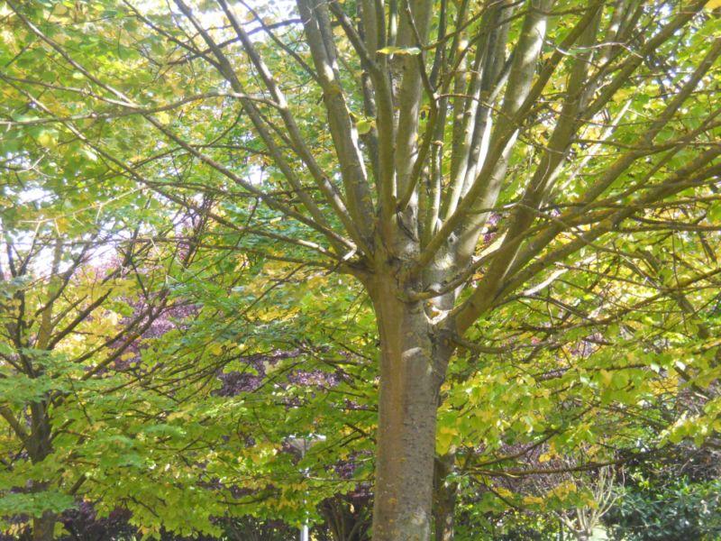 Tilo en otoño 6