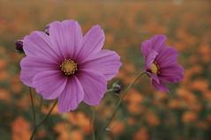 annual plant(1.0), flower(1.0), field(1.0), garden cosmos(1.0), plant(1.0), macro photography(1.0), wildflower(1.0), flora(1.0), close-up(1.0), plant stem(1.0), cosmos(1.0), petal(1.0),