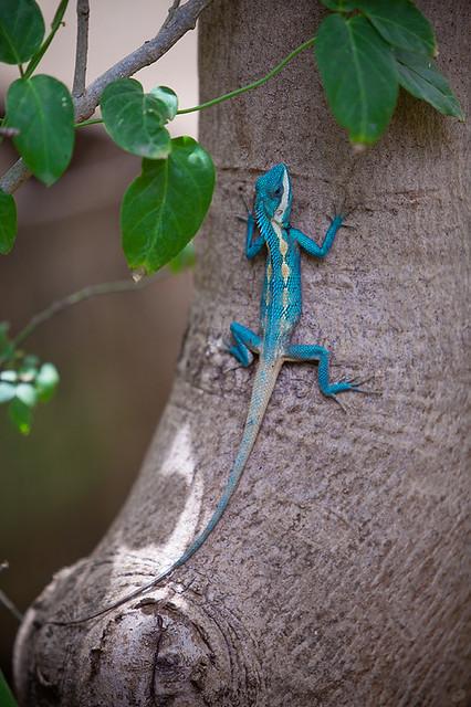 白唇树蜥 White-lipped variable lizard