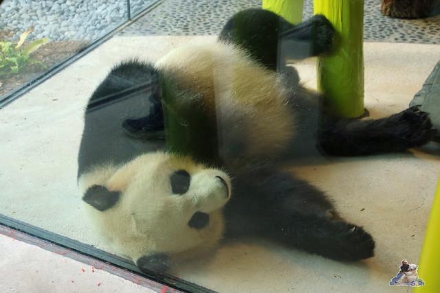 Panda Meng Meng und Jiao Qing im Berliner Zoo 068