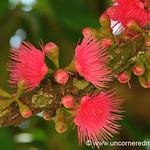 Pink Pom Pom Flowers - Chapare, Bolivia