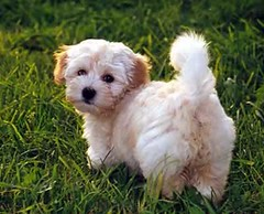 bichon frisã©, dog breed, animal, puppy, dog, cavachon, schnoodle, pet, coton de tulear, lã¶wchen, bolonka, poodle crossbreed, havanese, lhasa apso, morkie, bichon, chinese imperial dog, maltese, bolognese, carnivoran,