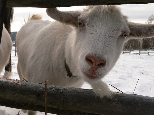 Happy new year of the goat (Credits: Abejorro34 / FlickR)