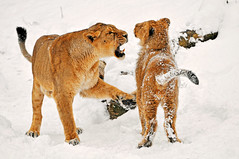 «A respectable lion doesn't roll in the snow, my son!»