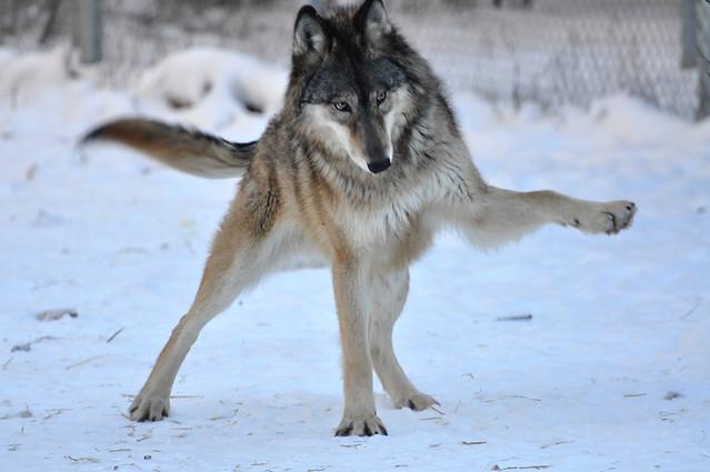 International Wolf Center Ely Mn Playful Gesture