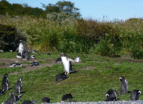 Gentoo penguin P1010693 by grebberg