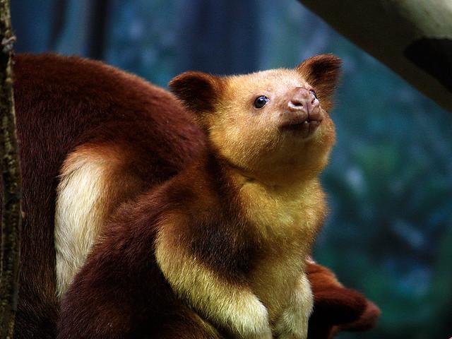 Goodfellow's Tree Kangaroo Joey (Female) in Australian ...